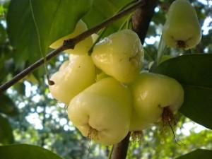 Jaam_fruit