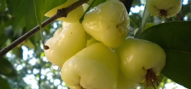 WHITE JAMUN (WAX JAMBU) FRUIT