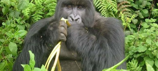 Practice Gorilla tactics while eating out, festive special