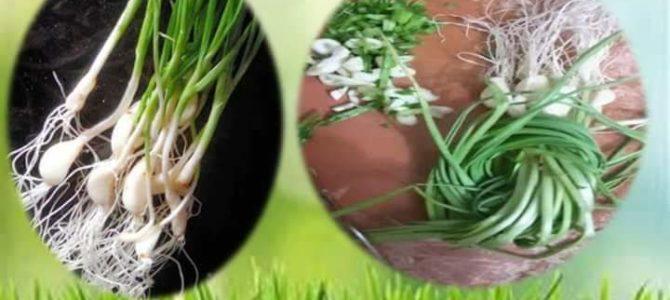 GREEN GARLIC – HARA LEHSUN